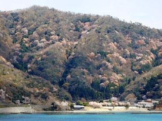 「神子の山桜」福井県若狭町