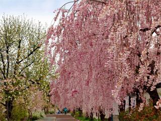「日中線しだれ桜並木」福島県喜多方市