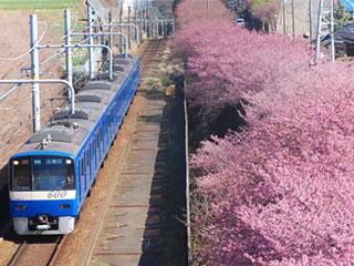 「三浦海岸河津桜」神奈川県三浦市