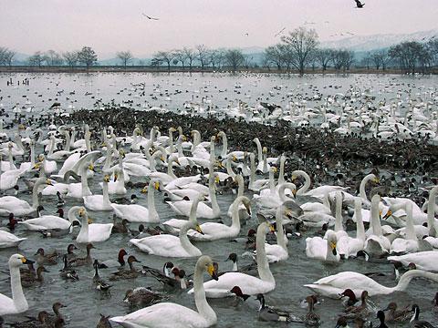 瓢湖「瓢湖の白鳥」新潟県阿賀野市水原