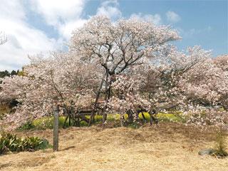 「狩宿の下馬桜」静岡県富士宮市