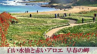 白い水仙と赤いアロエ 早春の岬「爪木崎」静岡県下田市