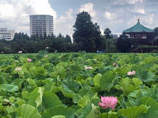 上野恩賜公園・不忍池「ハスの花」東京都台東区